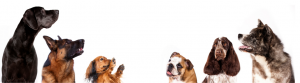 cbd honden