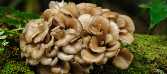 wat is maitake